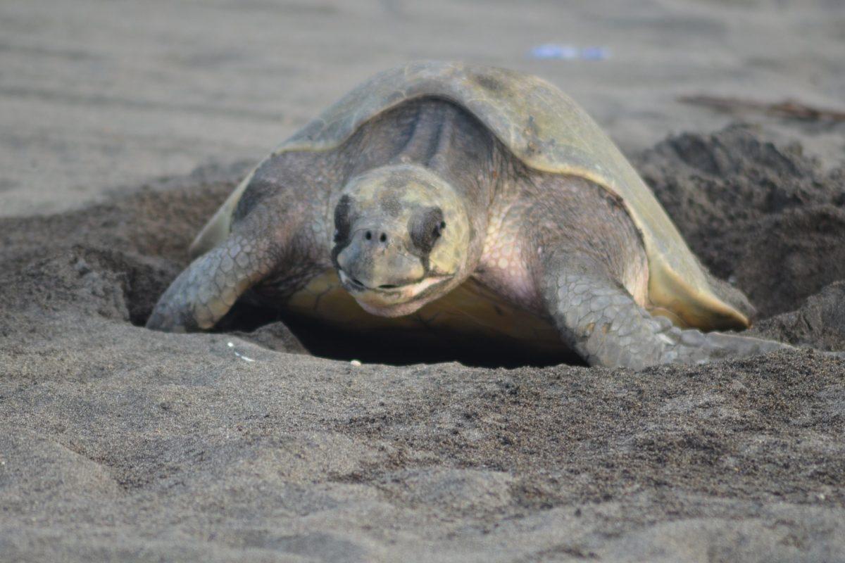 Día Mundial del las Tortugas crea conciencia para preservar la especie