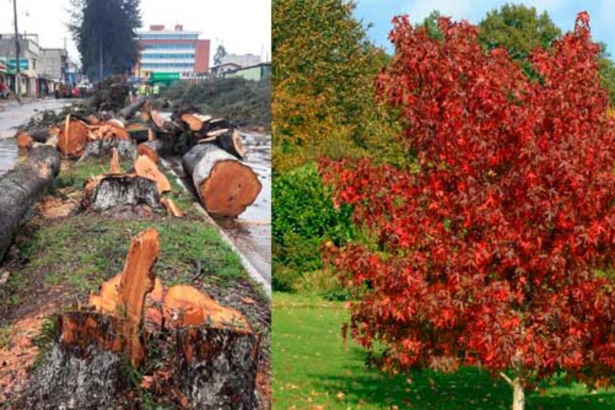 Por qué se están talando tantos árboles en Xela