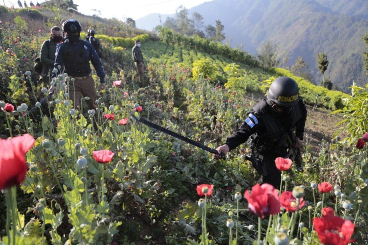 500 agentes participan en operativos de erradicación de amapola